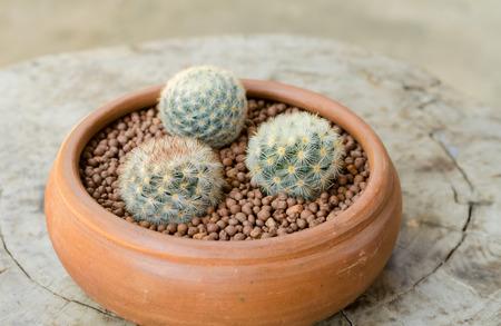 ollas de barro: Mammillaria carmenae en ollas de barro
