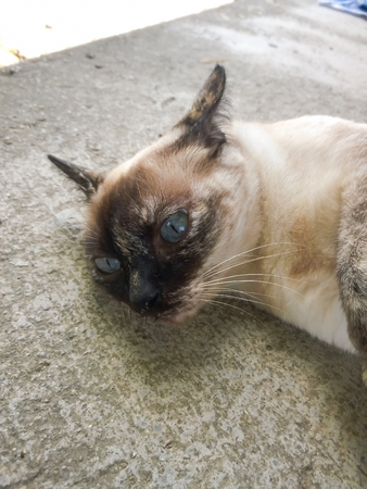 ritzy: cat with blue eyes living on ground,Thai cat Stock Photo
