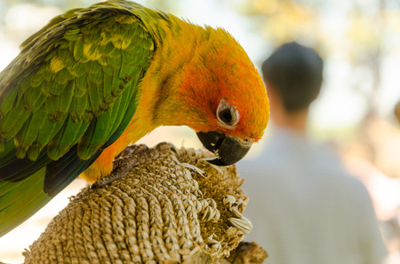 eclectus roratus: cute of beautiful Lovebird