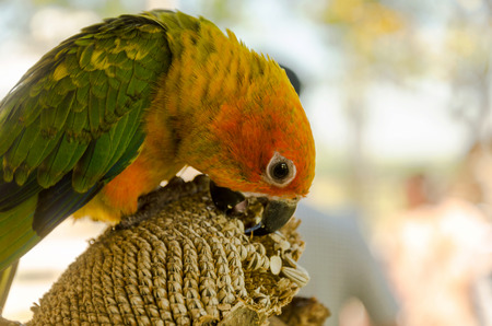 lovebird: cute of beautiful Lovebird
