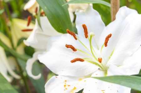 close up: close up white lily