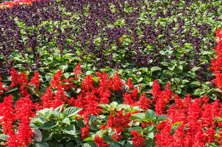 florae: Salvia splendens in garden