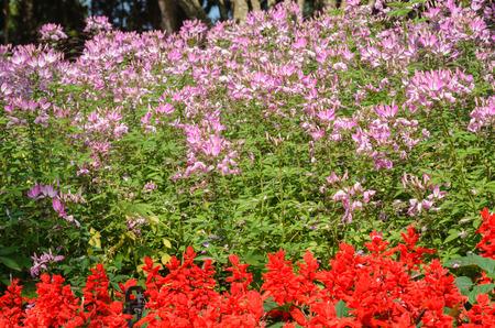 asterids: Cleome or Spider flower with Salvia splendens in garden