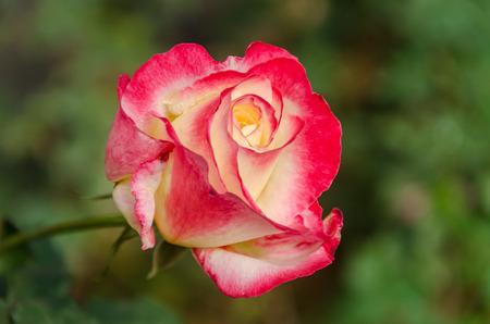 close up: pink rose close up