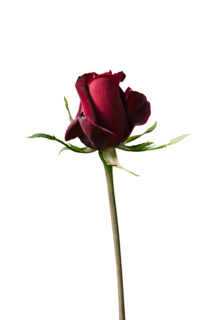 close up: red rose close up Stock Photo