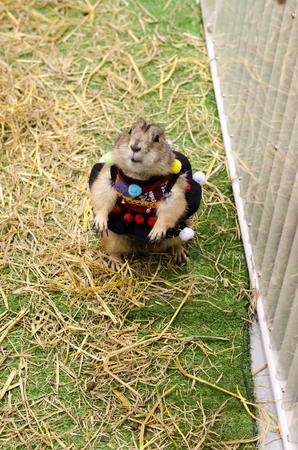 haycock: Cute prairie dog dressed up with haycock dry grass Stock Photo