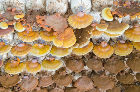 lucidum: Lingzhi (Ganoderma lucidum) Stock Photo