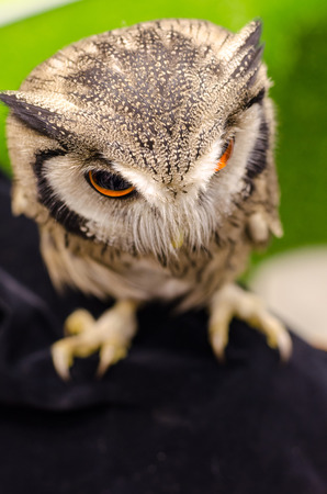 strigiformes: Owl portrait,Strigiformes Stock Photo
