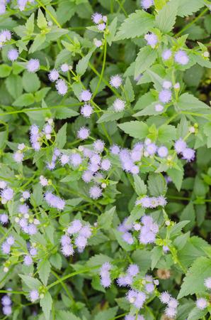 Depth of field purple little iron weed at field grasswhite flower depth of field purple little iron weed at field grasswhite flower grass with nature mightylinksfo