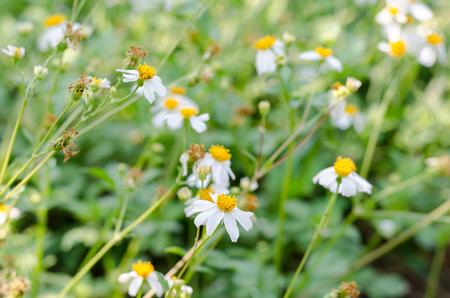Depth of field white little iron weed at field grasswhite flower depth of field white little iron weed at field grasswhite flower grass with nature mightylinksfo