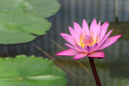 nenuphar: Beauty of Water Lily in the pond