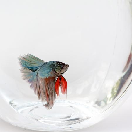 fighting fish: Siamese fighting fish on white background,Beautiful fish isolated