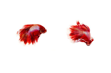 siamese fighting fish: Siamese fighting fish on white background,Beautiful fish isolated