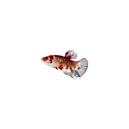 fighting fish: Halfmoon Betta Fish,Siamese fighting fish,Plakad fancy