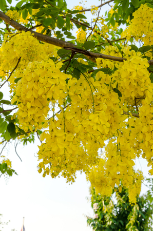 yellow flower tree: Cassia fistula flower on tree,yellow flower tree with green leaves,National tree of Thailand Stock Photo