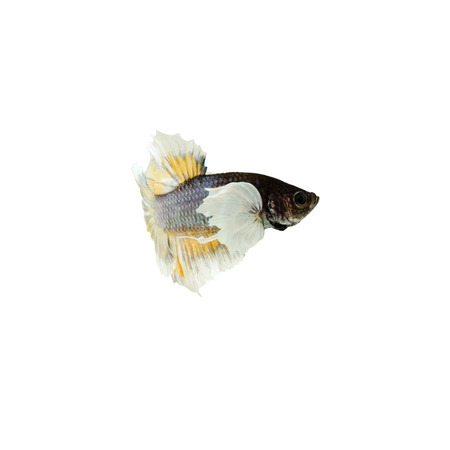 dragon swim: Halfmoon Betta Fish,Siamese fighting fish,Plakad fancy