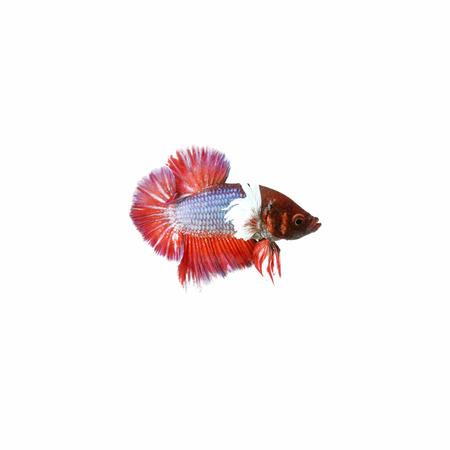aquarium hobby: Halfmoon Betta Fish,Siamese fighting fish,Plakad fancy