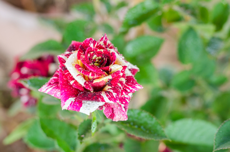 two tone: two tone rose