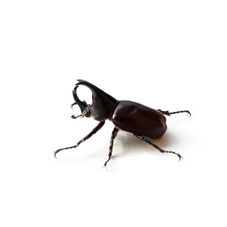 Rhinoceros beetle or Hercules beetle isolated on white