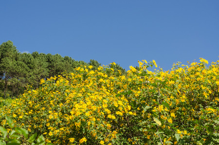 The hill of Mexican sunflower or Tung Bua Tong in Thai language at Mae Hong Son Thailand with blue sky Stock Photo