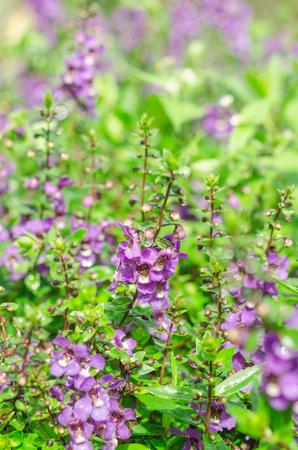 Waew Wichian Flower or Thai forget me not in garden,beauty purple flora with green leaves Stock Photo