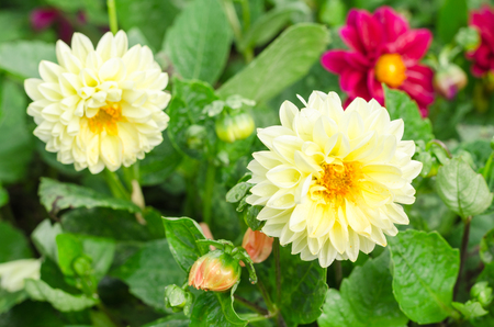 Beautiful dahlia flower with green leaves in the garden