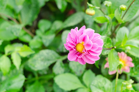 dahlia flower with green leaves in the garden