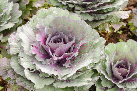 flowering kale: ornamental cabbage plant