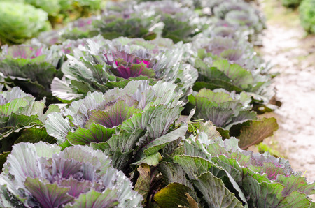 flowering kale: ornamental cabbage plant with dew drops