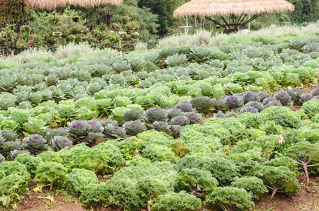 flowering kale: ornamental cabbage plant