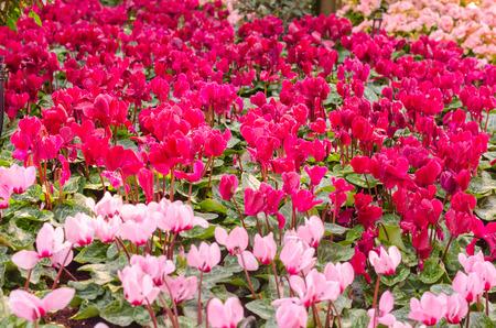 Beautiful cyclamen flowers background