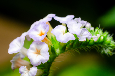 beautiful small purple and white flower of Heliotropium indicum (Yaa nguang chaang in Thai language), herbs flower