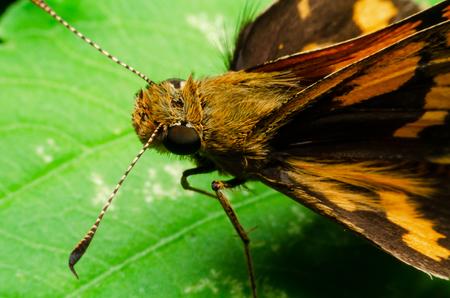 Hesperiidae on green leaf at outdoor garden Stock Photo