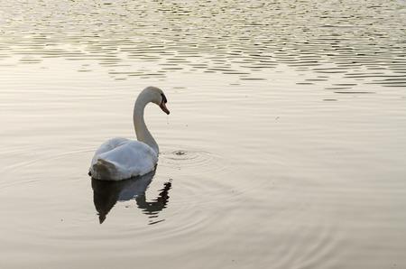 Cygnus olor, white mute swan swimming on lake