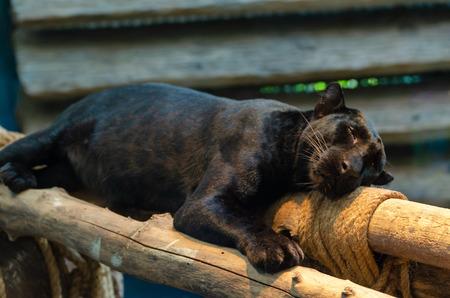 black Panthera pardus Stock Photo