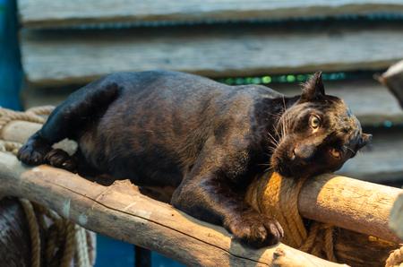 black Panthera pardus,Black Leopard Stock Photo