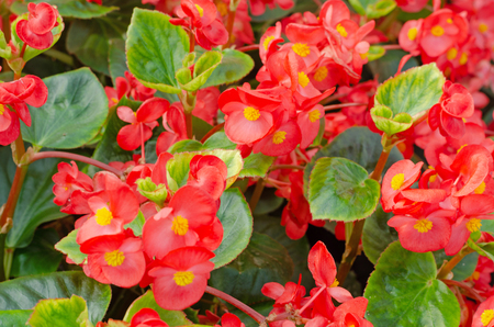 close up of blooming begonia cucullata or wax begonia