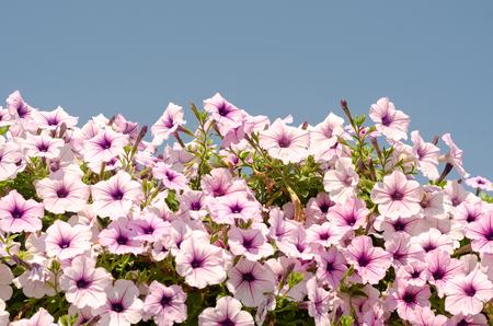 close up of blooming purple petunia flower in garden