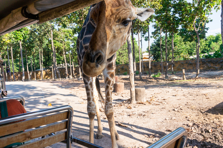 the traveler feeding giraffe at safari, Thailand Standard-Bild - 116774089