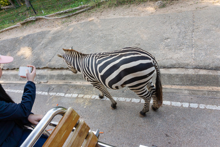 Plains zebra at safari zoo