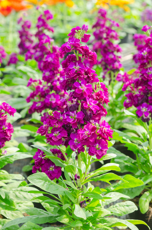 Hoary stock or matthiola incana flower with green leaves in the garden
