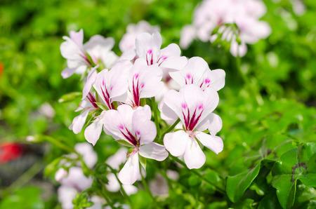 Pelargonium × hortorum or Garden geranium in the garden