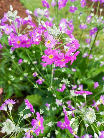 Primula frondosa flower in the garden