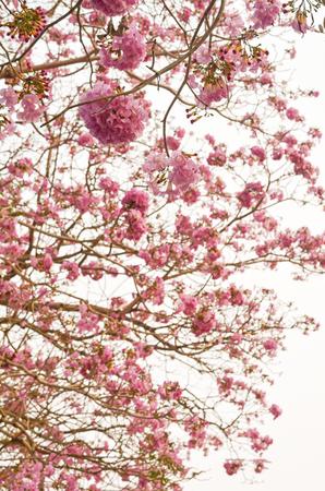 Blooming Pink trumpet tree or Tabebuia rosea flower in outdoor park Archivio Fotografico