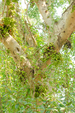 the common fig or Ficus carica on tree