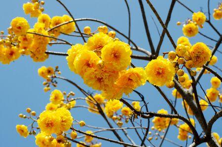 booming of Cochlospermum regium with blue sky