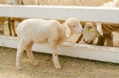 lamb eating grass at countryside farm Stock Photo