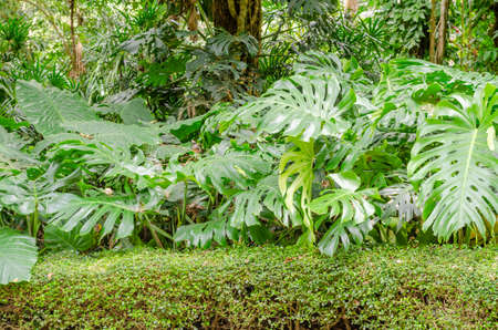 Monstera plants in garden Stock Photo
