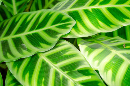 pattern leaves of Calathea zebrina plant