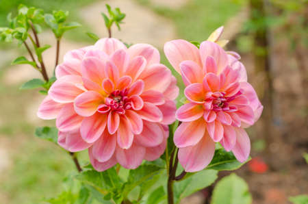 booming Pinnate dahlia or Dahlia pinnata in the garden